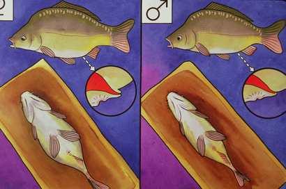Carpa macho e fêmea. Como diferenciar?