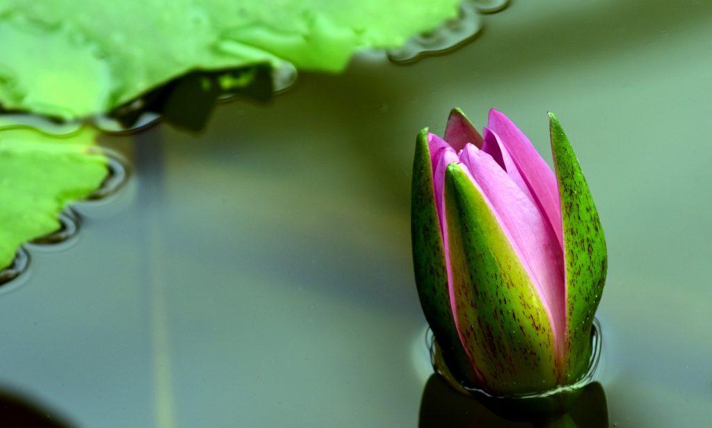 Plantas aquáticas para redução de algas