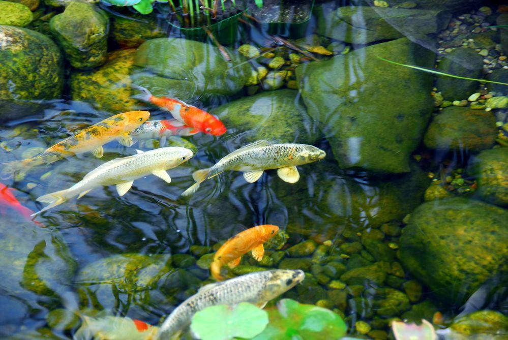 cuidados com peixes em lagos artificiais