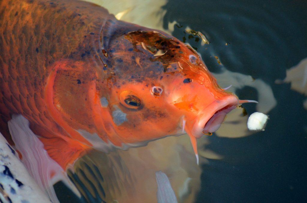 Minerais na alimentação dos peixes